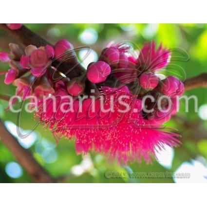 Syzygium malaccense - Manzana Malaya