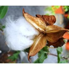 Gossypium arboreum - Cotton