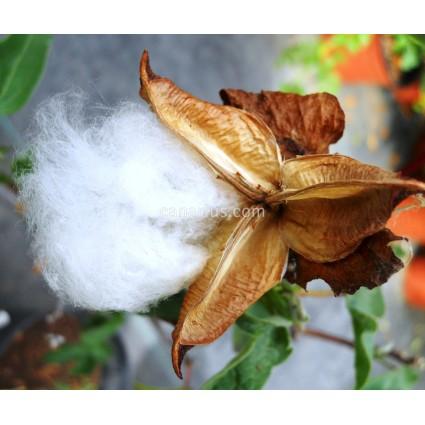 Gossypium arboreum - Algodón