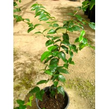 Eugenia uniflora negra - Pitanga negra