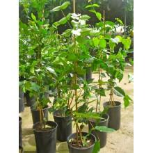 Eugenia uniflora Black - Black Pitanga