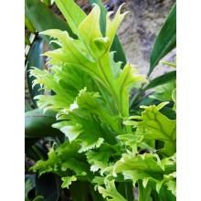 Microsorum punctatum cristatum