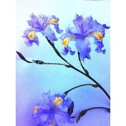 Iris japonica - Forma Azul