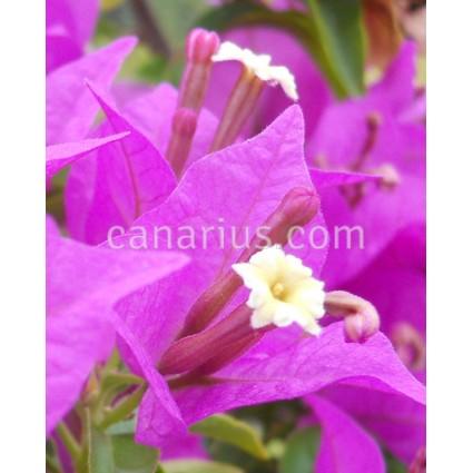 Bougainvillea glabra Sanderiana