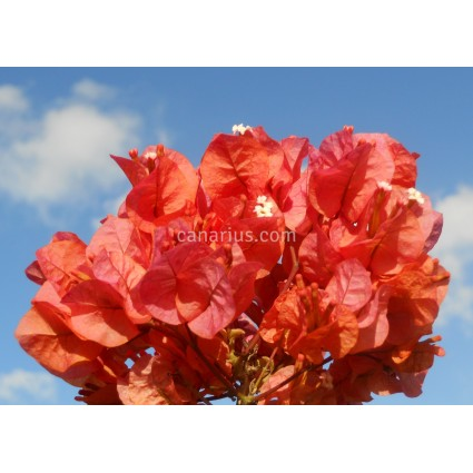 Bougainvillea spectabilis  'Salmon Red'