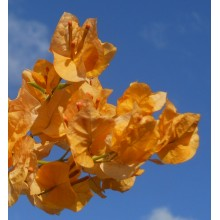 Bougainvillea spectabilis  'Yellow'
