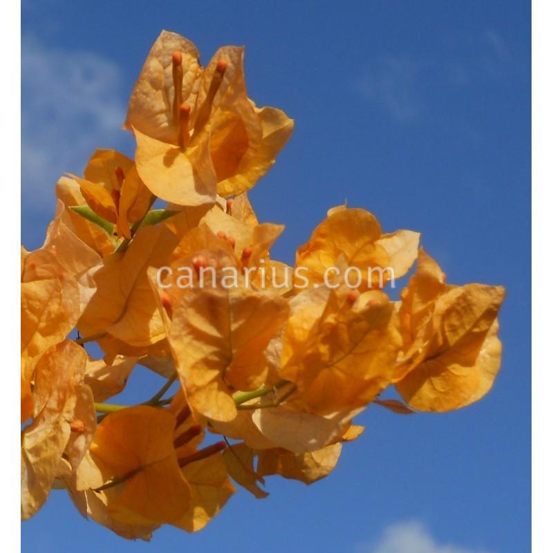 buy bougainvillea spectabilis yellow with canarius