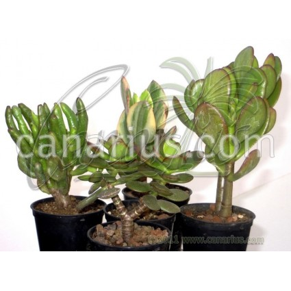 Crassula ovata mix 5 differents colours