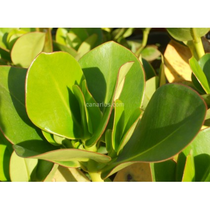 Clusia rosea - Autograph Tree
