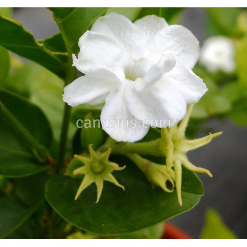 kaufen jasminum sambac arabian jasmine mit canarius. Black Bedroom Furniture Sets. Home Design Ideas