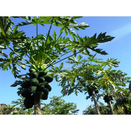 Carica papaya cv. Red Lady F1 (786)