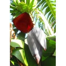 Musa 'Orinoco', 'Topocho' - Banana Tree