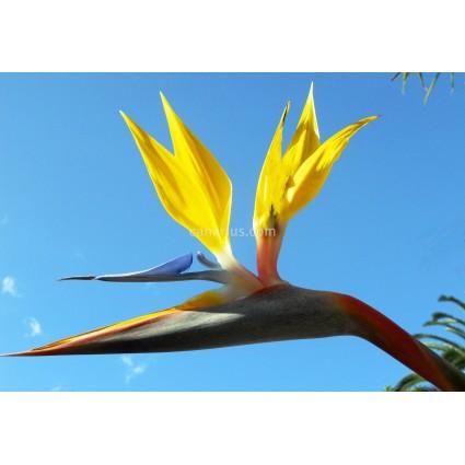 Strelitzia reginae 'Mandela's Gold' - Yellow!