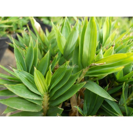 Pleioblastus pygmaeus - Pigmy Bamboo