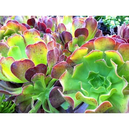 Aeonium arboreum cv. Purpureum