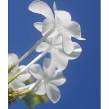 Plumbago auriculata alba