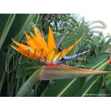 Strelitzia reginae - Flowering Size !