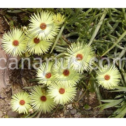 Cephalophyllum pillansii