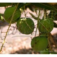 Mangifera indica  'Extrema'