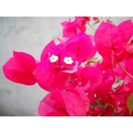 Bougainvillea spectabilis  'Hot Pink'