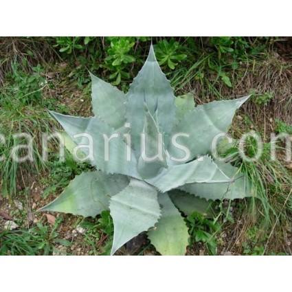 Agave asperrima subsp. asperrima