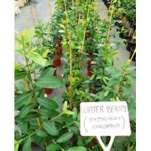 Syzygium cordatum - Water Berry