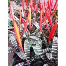 Vriesea splendens 'Splenriet'