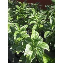 Pseuderanthemum carruthersii var. atropurpureum variegatum
