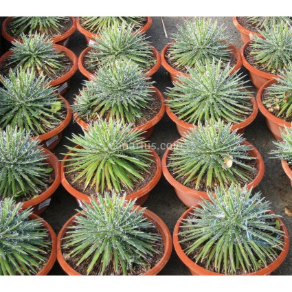 Agave filifera 'Leopoldii' - Large Size
