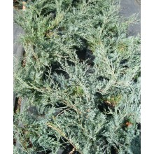 Juniperus x Media cv. Pfitzeriana Glauca