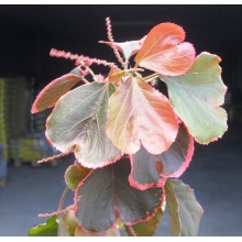 Acalypha 'Obovata'
