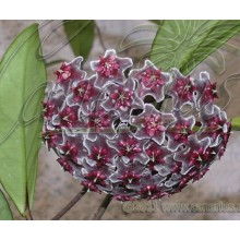Hoya pubicalyx cv. Red Button