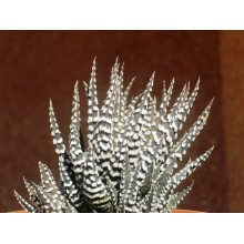 Haworthia attenuata 'Big Band'