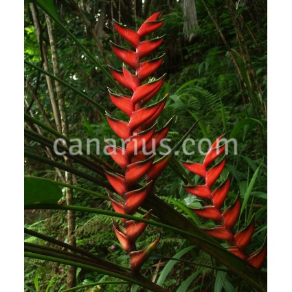 Heliconia bihai  'Lobster Claw One'