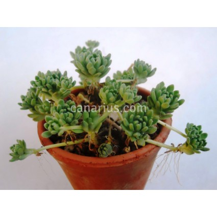 Sedum hirsutum subsp. baeticum