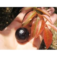 Myrciaria cauliflora - Jaboticaba