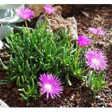 Cephalophyllum alstonii Pink Form