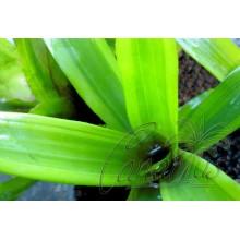 Aechmea cylindrata cv. bicolor