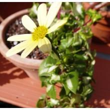 Senecio macroglossus variegata