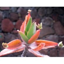 Kalanchoe suarezensis