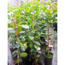 Psidium littorale - Guayabito amarillo