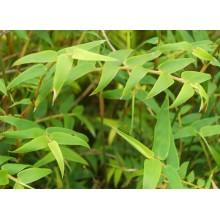 Bambusa multiplex elegans