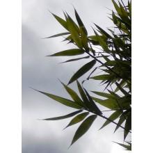 Bambusa textilis