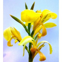 Canna sp. Yellow