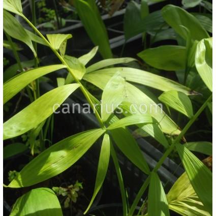 Chamaedorea klotzschiana