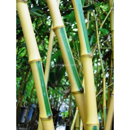 Phyllostachys bambusoides cv. Castillonii