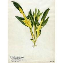 Codiaeum 'Pata de Gallo'
