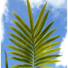 Cycas edentata