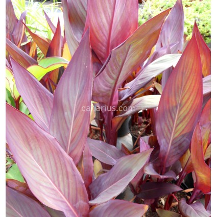 Canna indica 'Intrigue'