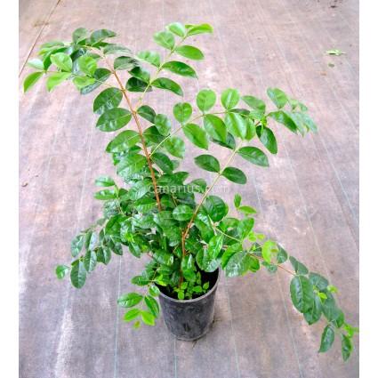 Psidium eugeniaefolia - Araca Una